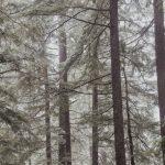 Húsz éve pusztulnak a lucfenyvesek Vas megyében, a maradék most tűnik el