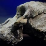 Összefügg az emberelőd agyának mérete és a nagytestű húsevők kihalásának mértéke