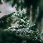 Így hasznosítja Pécs városa a kidobott karácsonyfákat