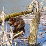 Jól érzik magukat vizeink mentén a hódok, egyre több területen bukkannak fel