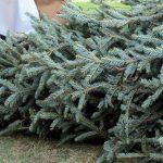 Így haszosítja Pécs városa a kidobott, feleslegessé vált karácsonyfákat