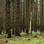 Pusztulnak a Veszprém megyei fenyvesek is, idő előtt le kell termelni a fákat