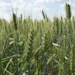 A növények illatanyagokkal figyelmeztetik egymást a közelgő rovartámadásra