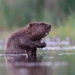 Őrség: a hódok helyreállítják azt, amit az ember elrontott