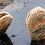 Még idén kipusztulhat a Földközi-tenger legnagyobb kagylófaja