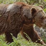 Megjelent egy barna medve az egerszalóki méhészet közelében, de csak elcammogott a kaptárak mellett